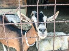 Goat at Podero Il Casale
