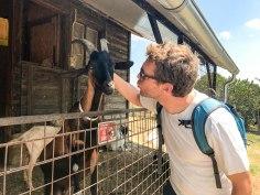 Goats at Podero Il Casale
